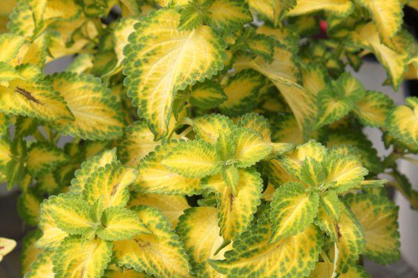 coleus, annual plants, summer gardening, spring gardening