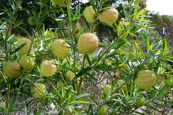 balloon milkweed balls