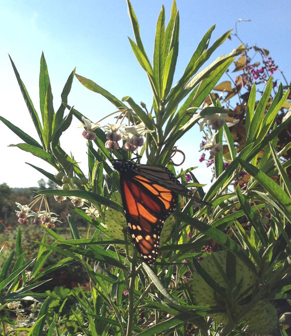 balloon milkweed monarch