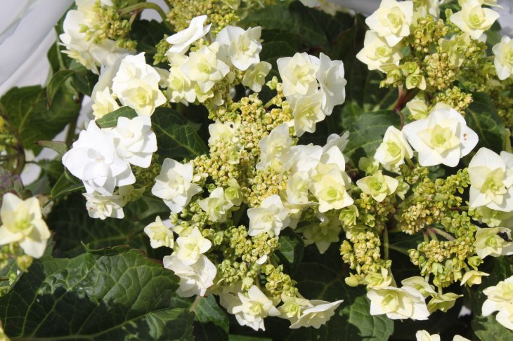 Wedding Gown Lacecap Hydrangea Its Easy To See Where These Delicate Blooms Get Their Name