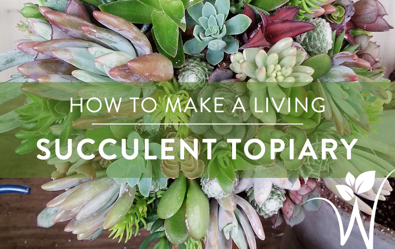 How To Make A Living Succulent Topiary Westwood Gardens Blog
