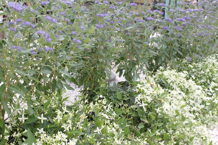 Caryopteris and Sweet Autumn Clematis are wonderful perennials for late summer and early fall color in the garden and landscape.