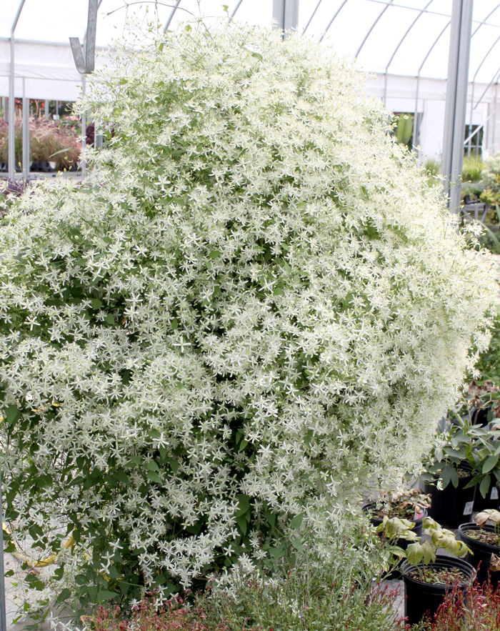 Sweet Autumn Clematis is a perennial that can be trimmed to any shape in the garden.