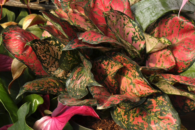 aglaonema-wishes