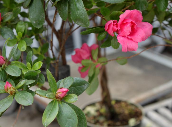 azalea topiary 1