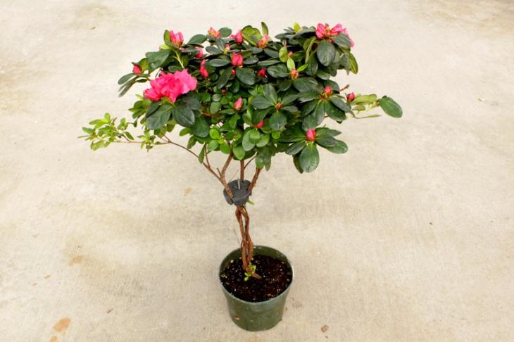 azalea-topiary-3