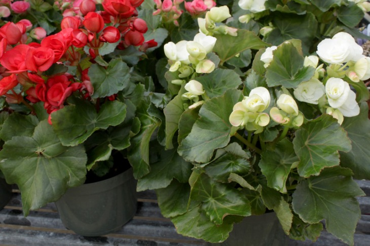 begonia rieger group