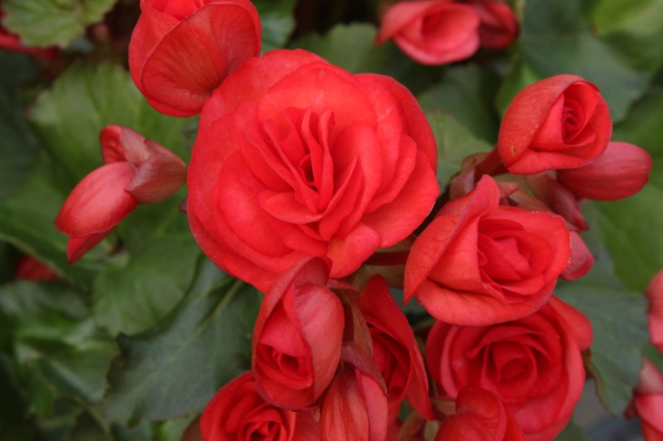 begonia rieger red 1