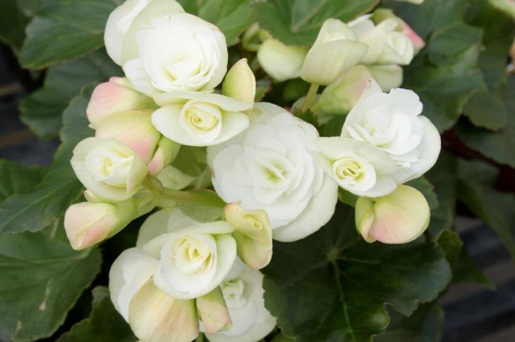 begonia rieger white