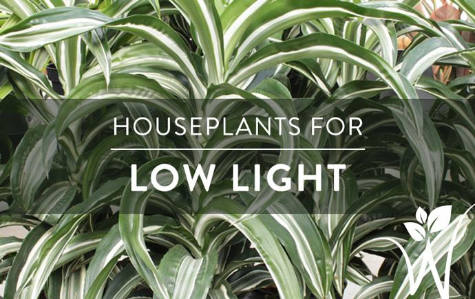 Indoor Plants for Low Light – westwood gardens blog