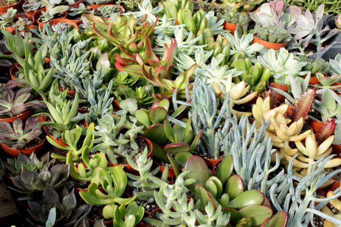 succulents-pixie