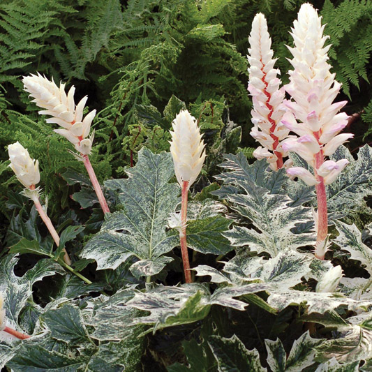 Acanthus-Whitewater-1