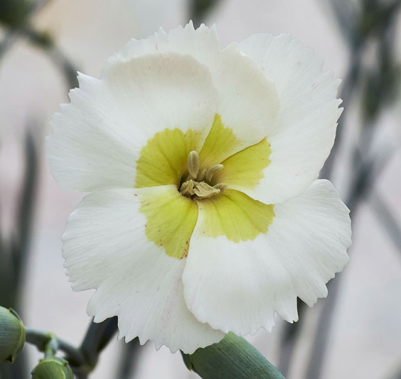 Dianthus-American-Pie-Key-Lime-Pie-001